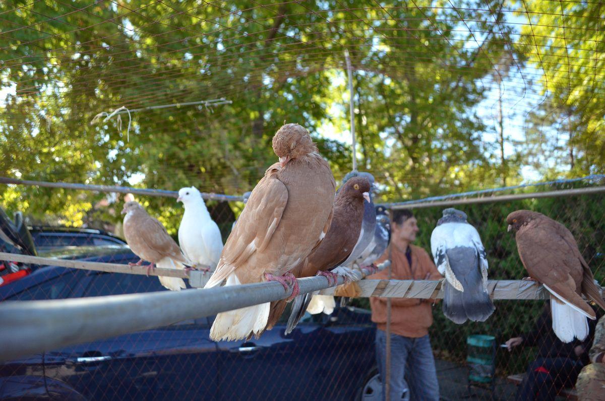 В Раздольном состоялась выставка голубей, декоративных и певчих птиц, а также домашних животных